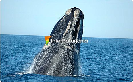 Whales at Puerto Madryn