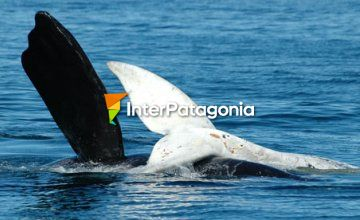 Whales at Puerto Pir�mides