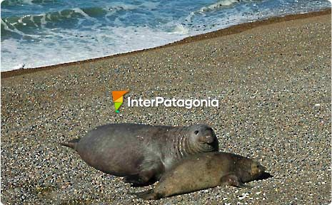 Elephant Seals at Punta Ninfas, Puerto Madryn
