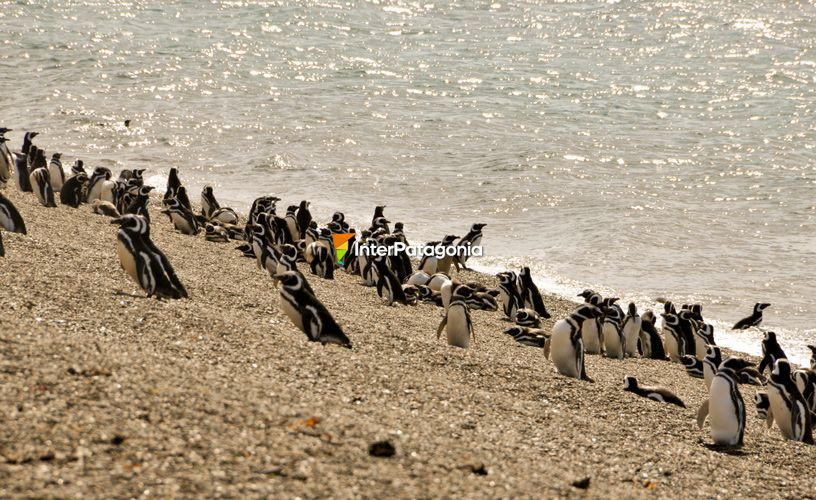 Colony of Magellanic penguins