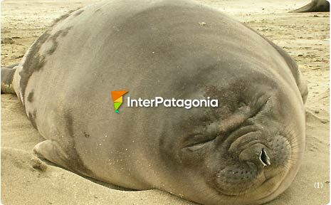 Elephant seal colony on El Arenal Beach, Vald�s Peninsula