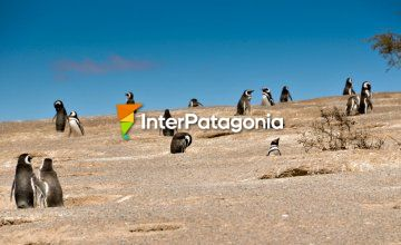 Penguins at Punta Tombo
