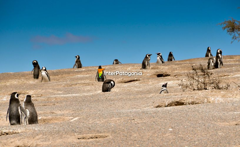 The Magellanic penguin continental colony
