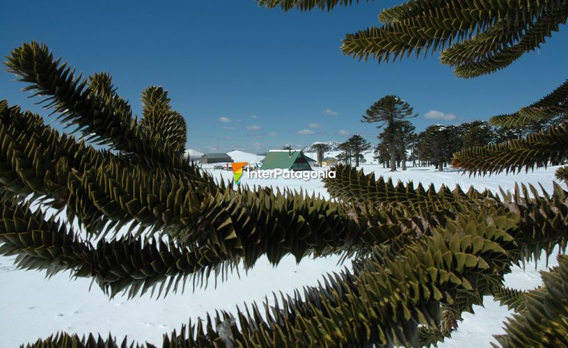 The surrounding monkey puzzles