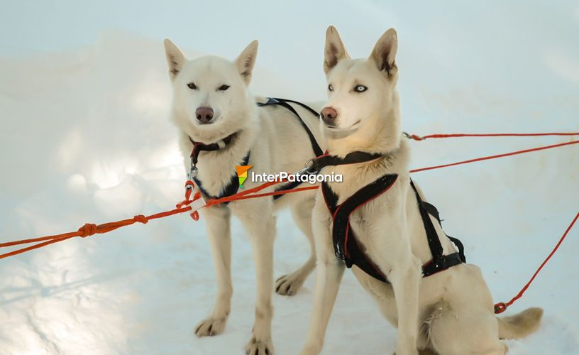 Alaskan and siberian husky dogs.
