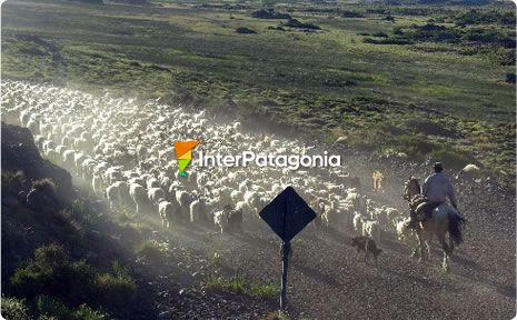 Mapuche Summer Cattle Transhumance