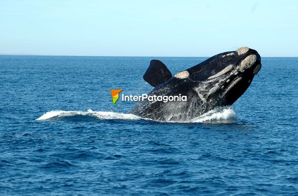Whale - Puerto Madryn