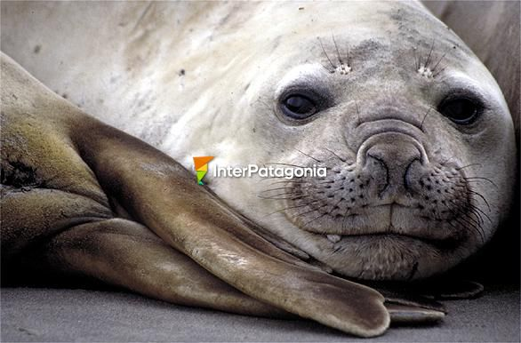 Elephant seal (female) in Punta Delgada, Pen�nsula de Vald�s - Puerto Madryn