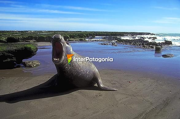 Elephant seal (female) - Puerto Madryn,