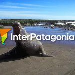 Elephant seal (female)