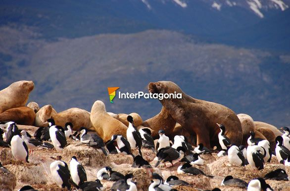 Sea lions in Patagonia - Ushuaia